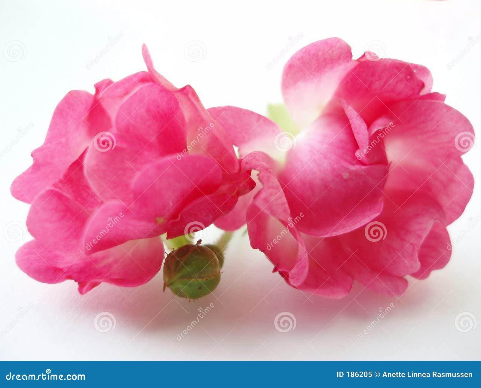 Rosas rosadas en el fondo blanco
