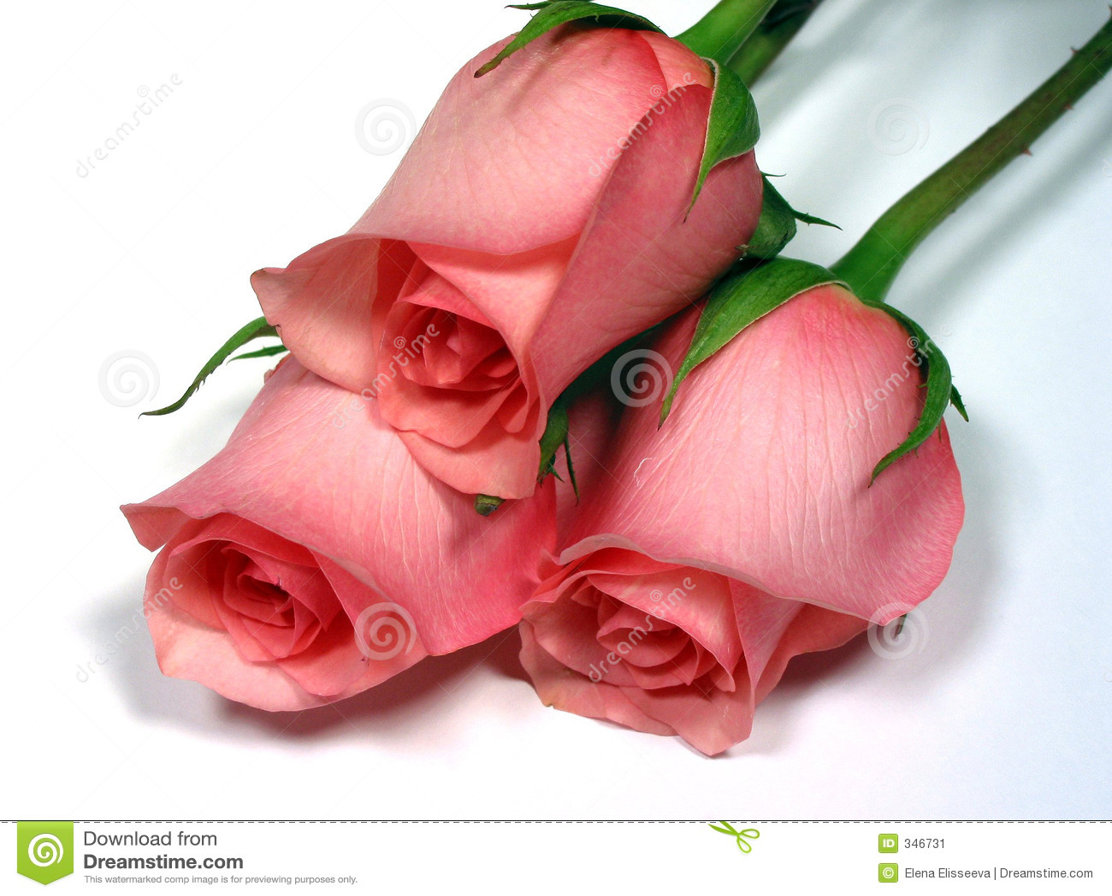 Rosas Rosadas En El Fondo Blanco Imagen de archivo - Imagen: 346731