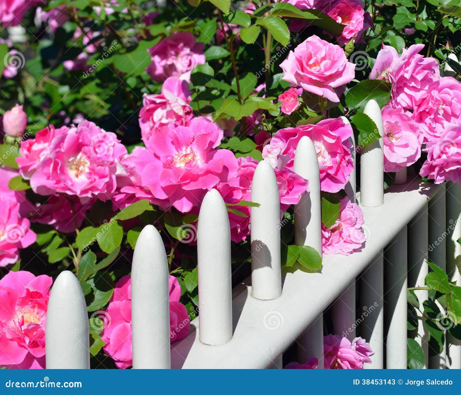Rosas rosadas en la cerca