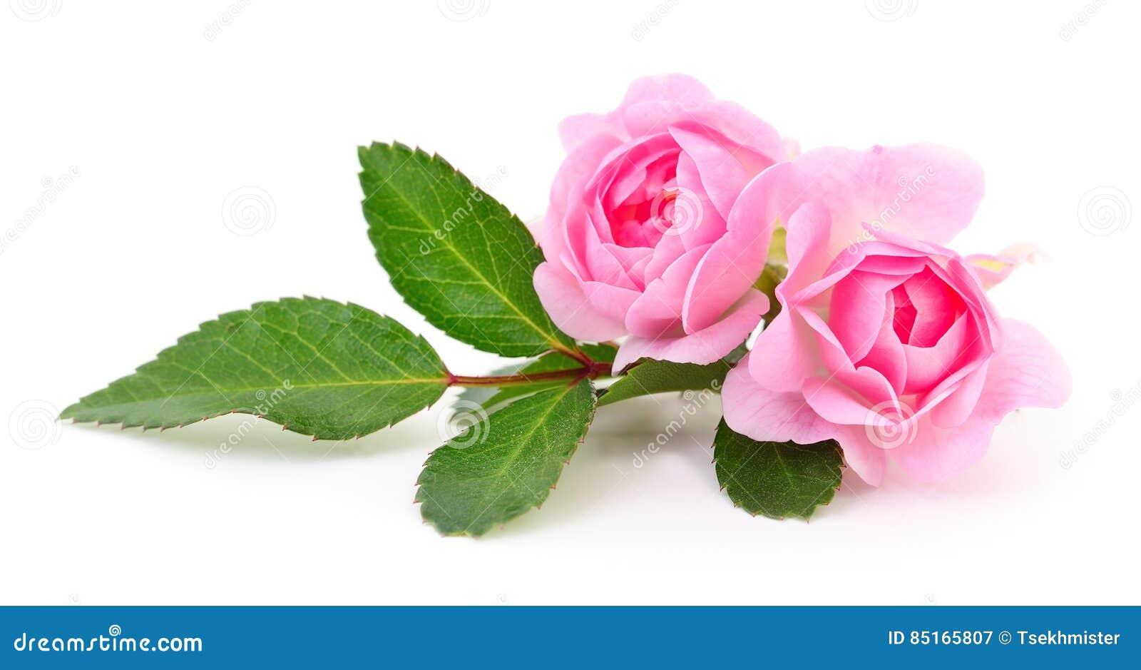 Rosas rosadas hermosas foto de archivo imagen 85165807 - Rosas rosas hermosas ...