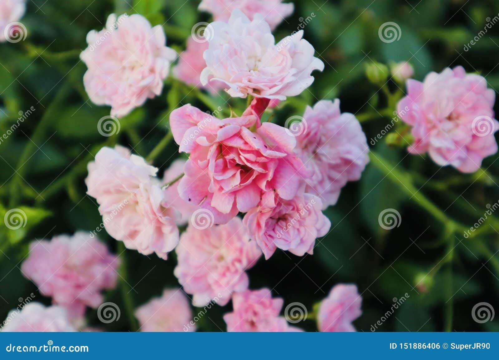 Rosas selvagens cor-de-rosa