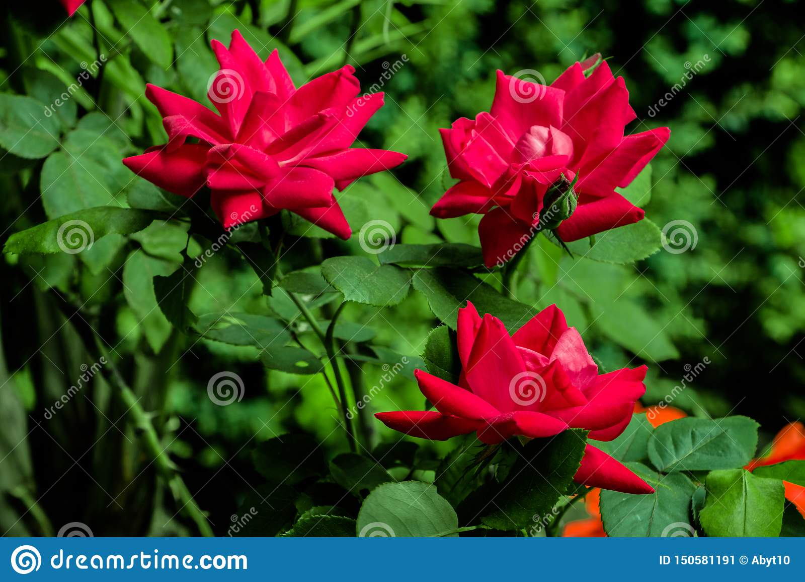 Rosas vermelhas do jardim