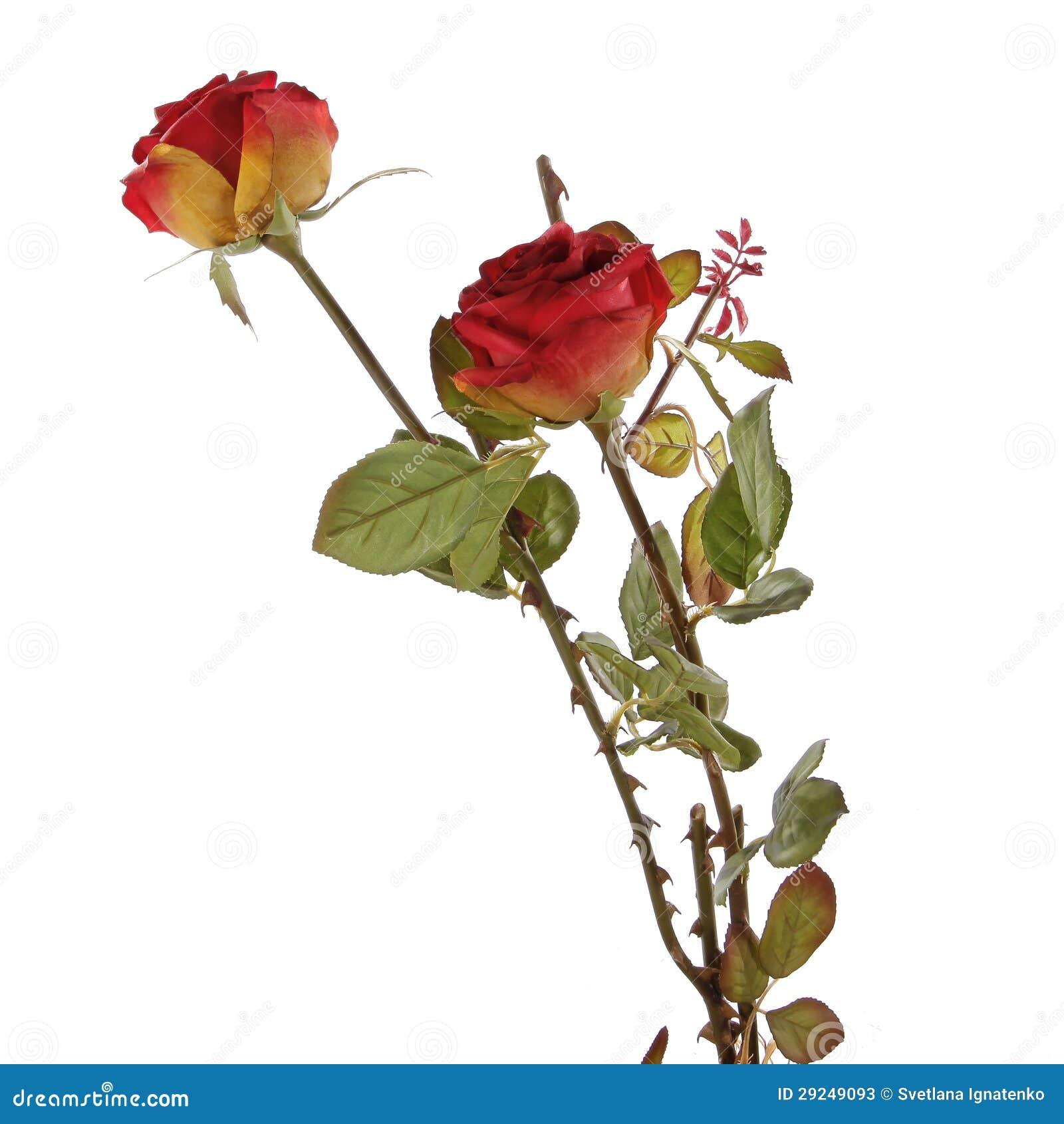 Download Rosas Vermelhas Frescas Em Um Fundo Branco Imagem de Stock - Imagem de fundo, amor: 29249093