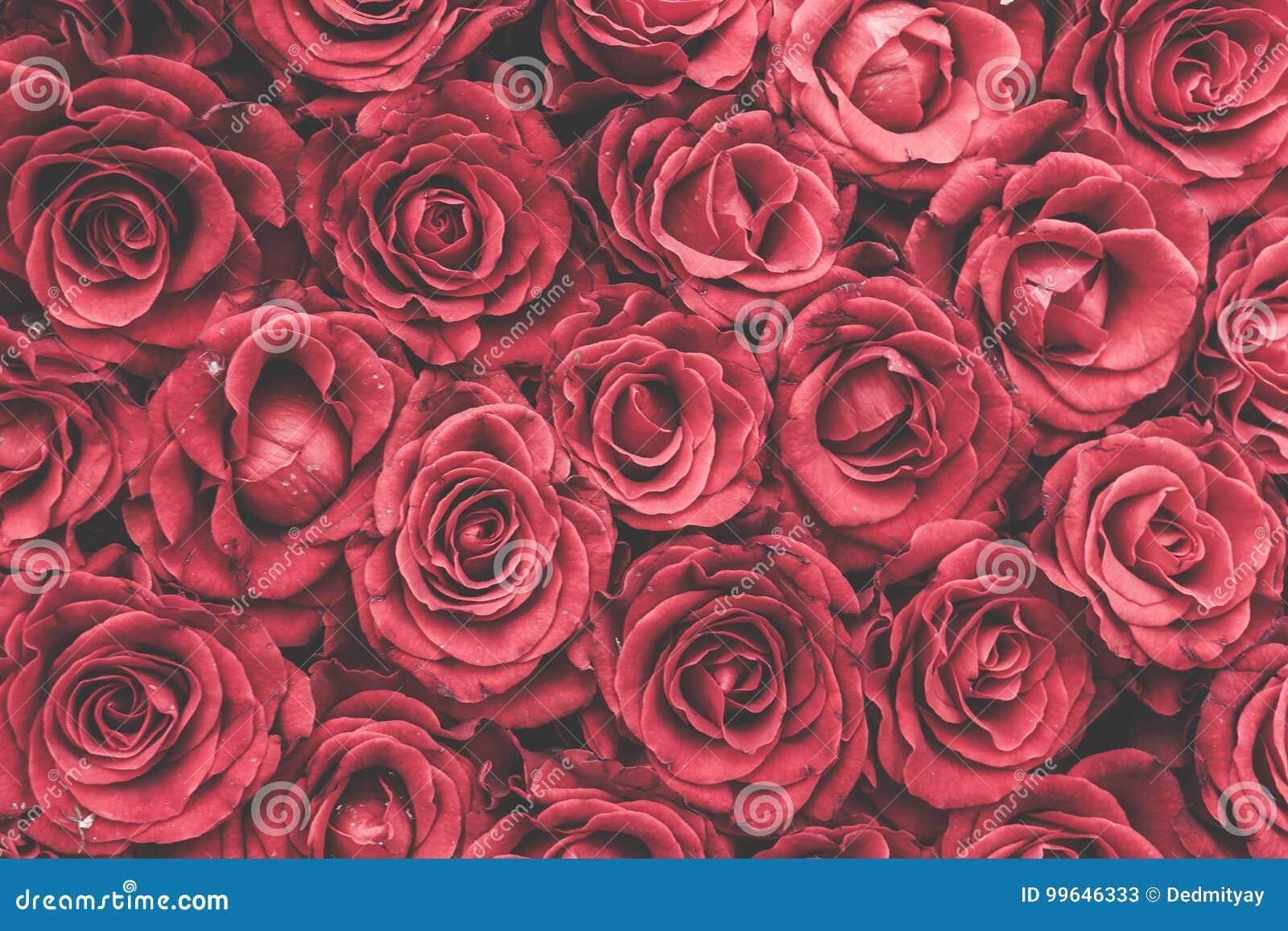 Rosas Vermelhas Fundo Ou Papel De Parede Imagem De Stock