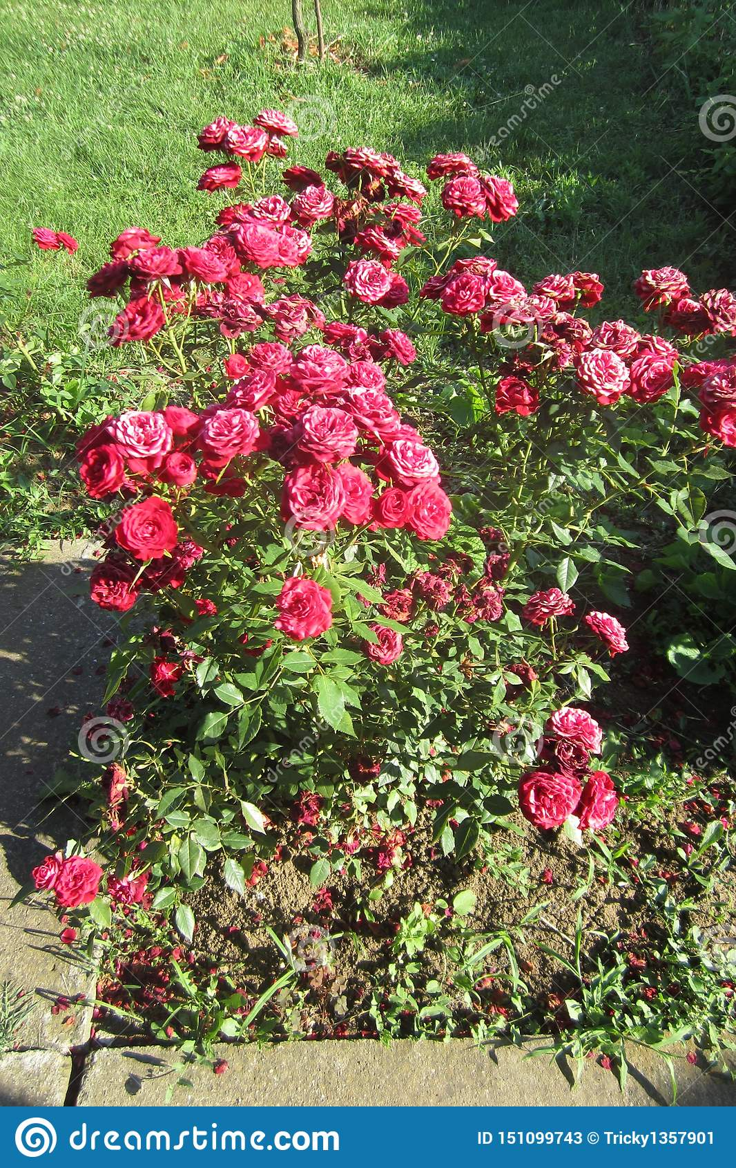 Rosas vermelhas no dia ensolarado em meu jardim da frente Kragujevac, S?rvia