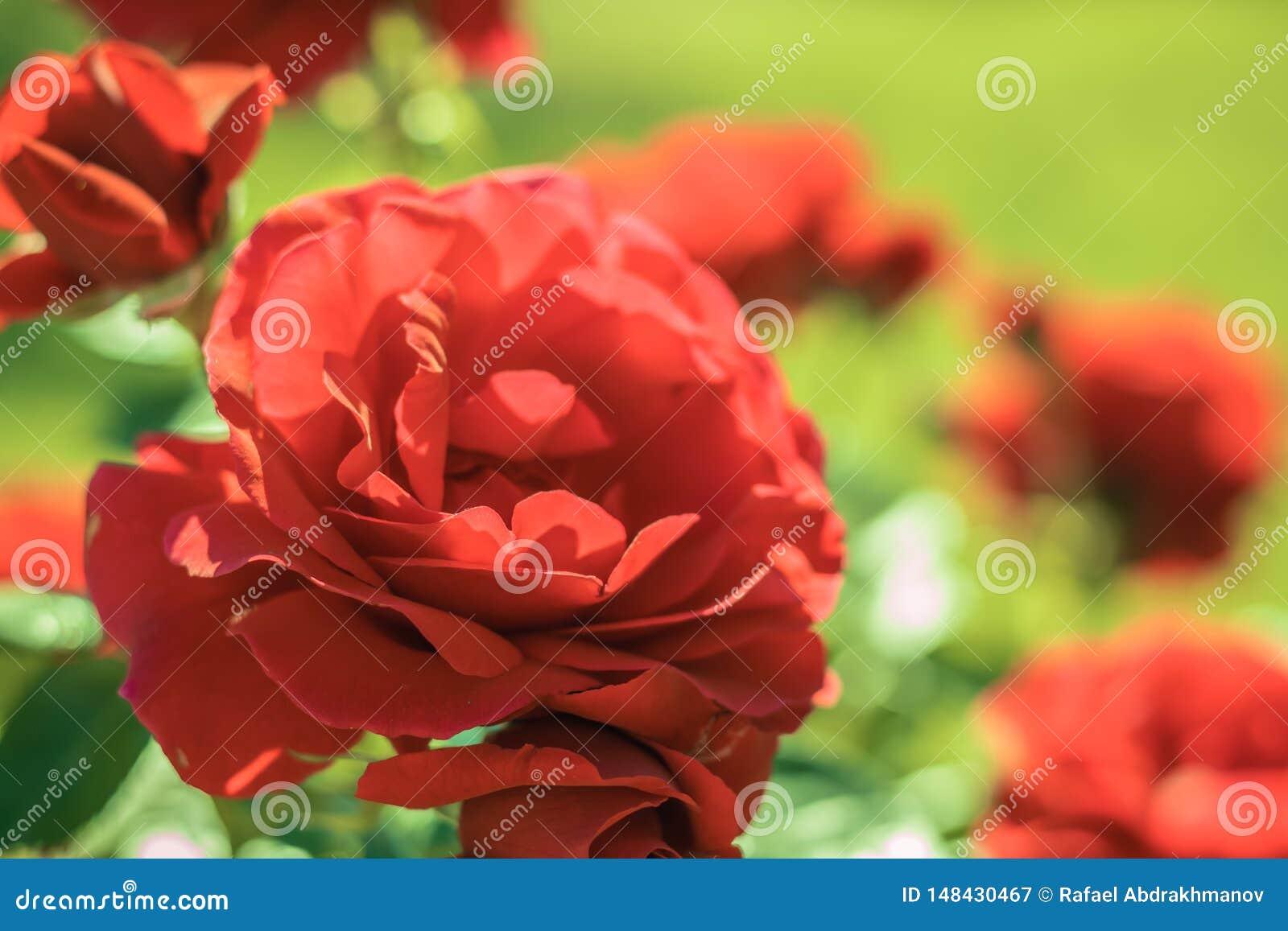 Rosas vermelhas no jardim Flores do ver?o no parque Fundo floral bonito do fundo? com flores coloridas