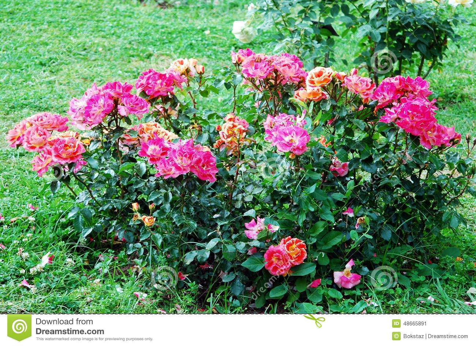 Rosas Vermelhas No Jardim Na Cidade De Roma Foto de Stock  Imagem