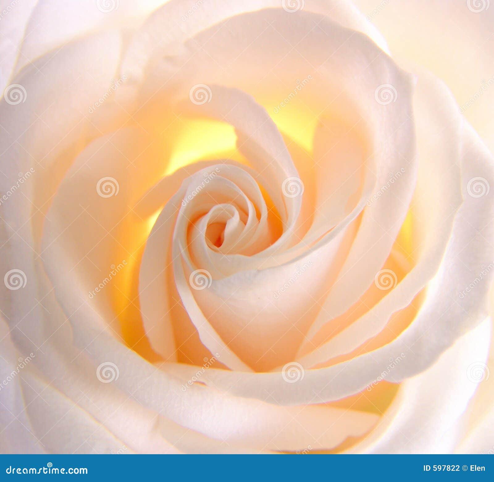 Rose świecący