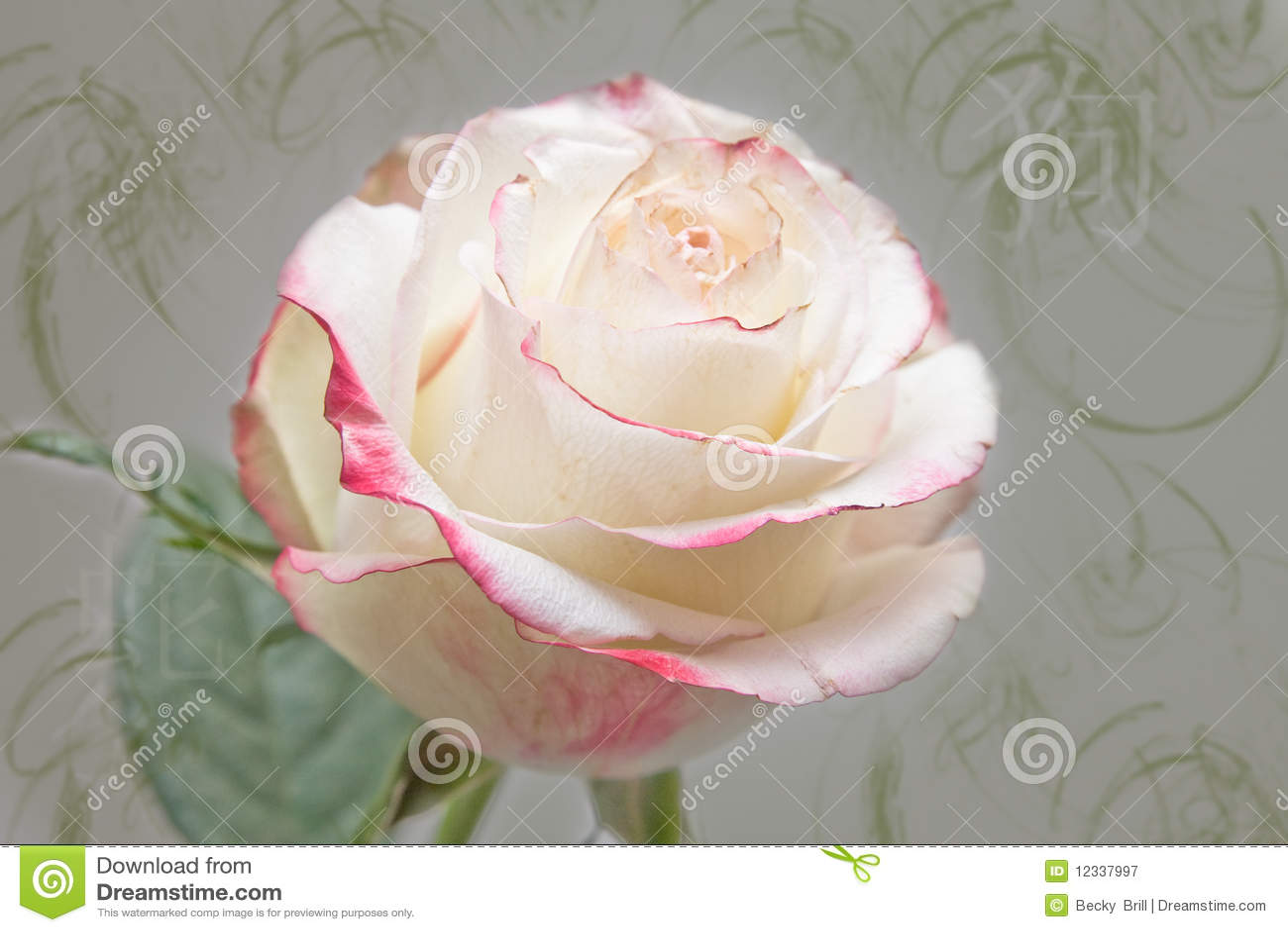 Rose Royalty Free Stock Photography Image 12337997