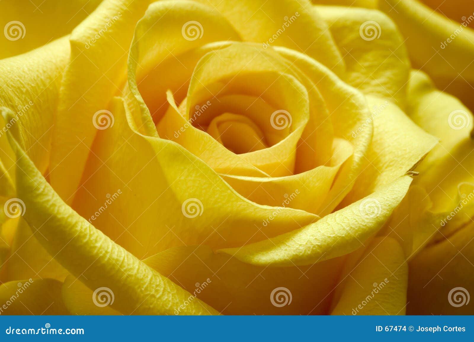Rose 2 żółty