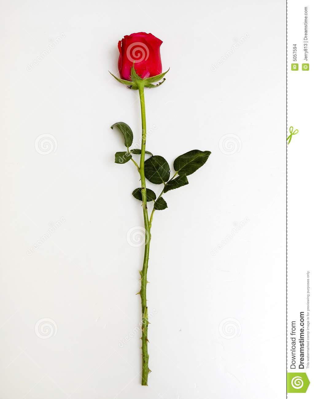 Rose Stock Images Image 5057594