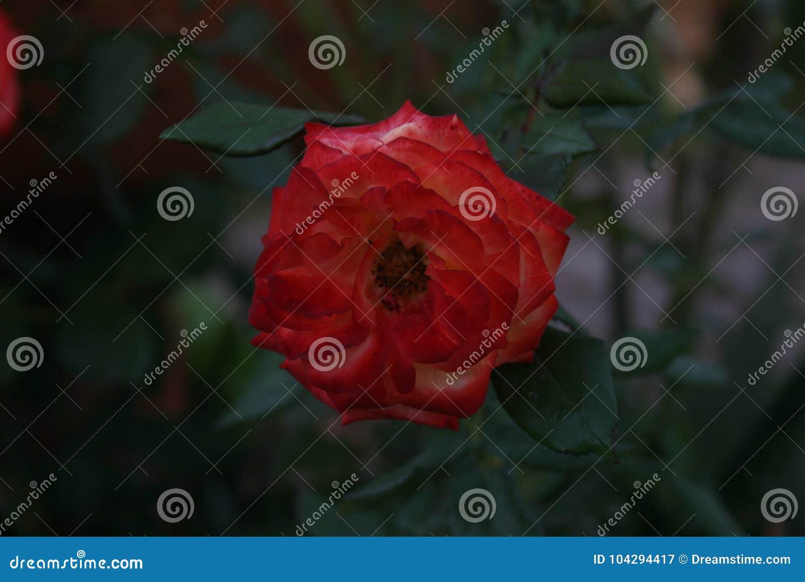 Rose Alone rossa