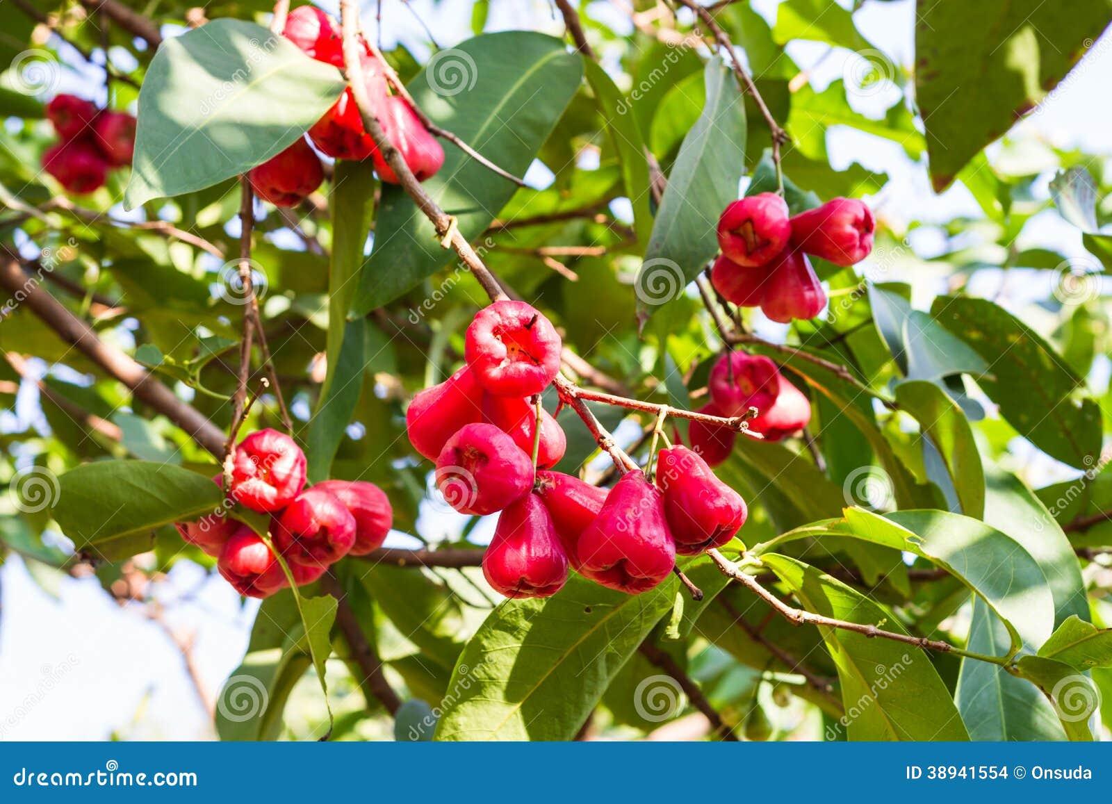 Rose apple tree stock photo. Image of asia, food, apple - 38941554