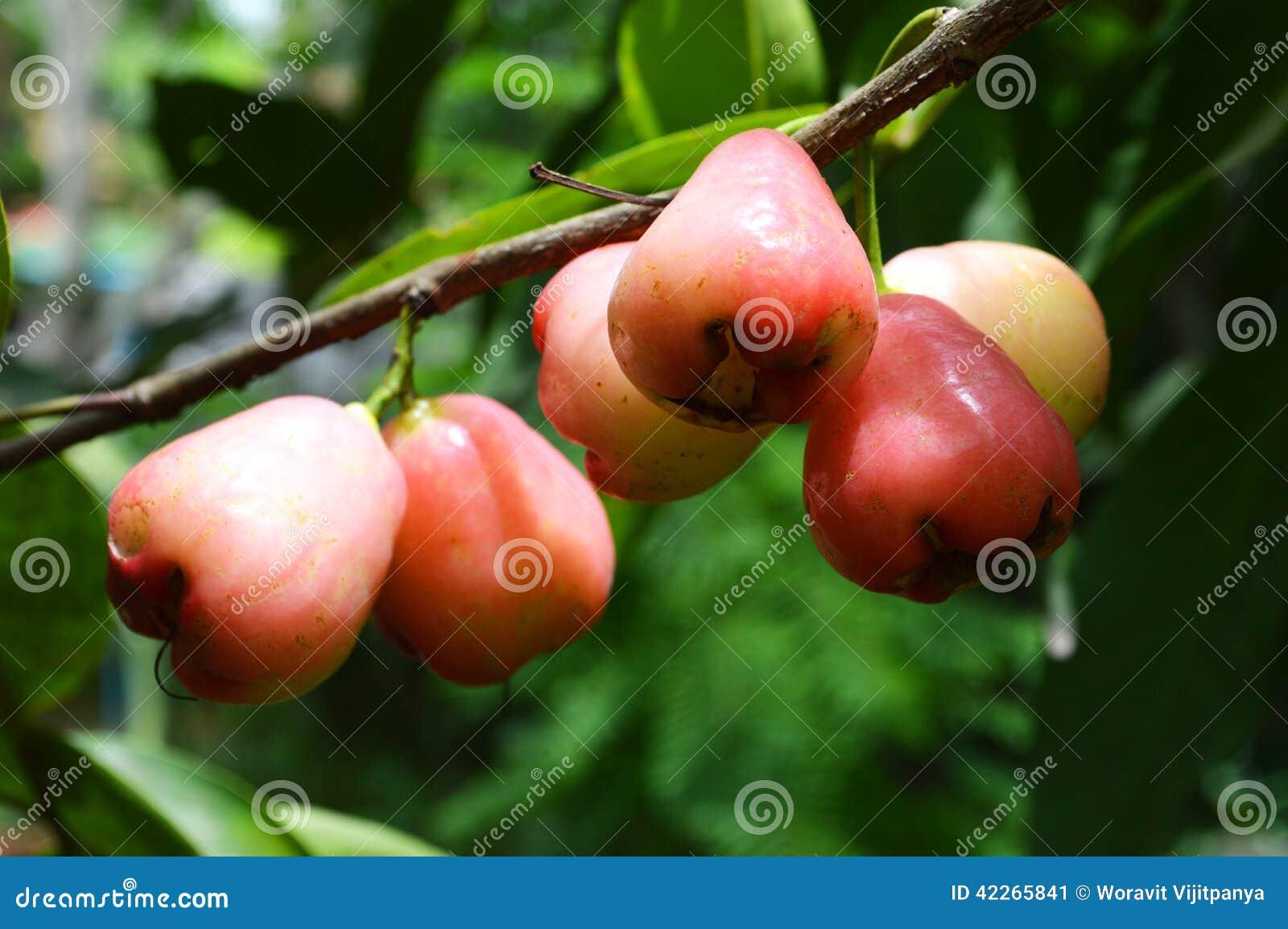 Rose apple on the tree