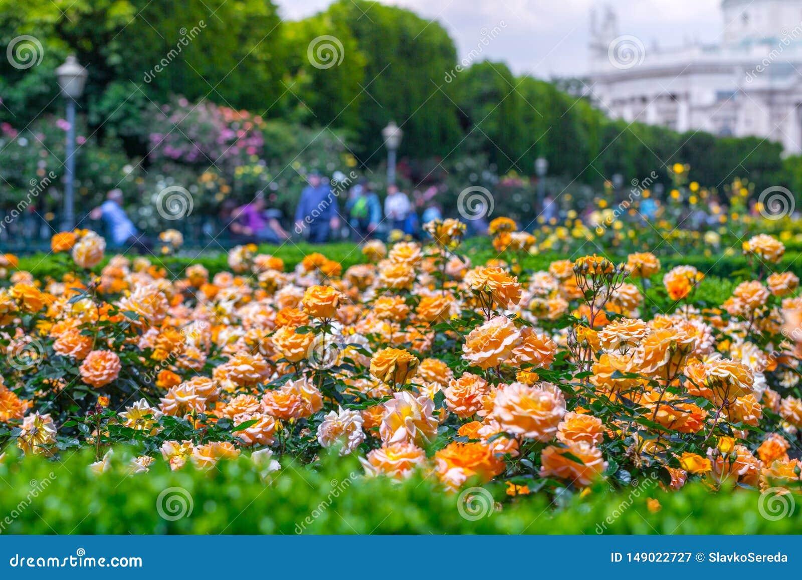 Rose arancio di fioritura fertili in roseto Volksgarten( people' s park) a Vienna, l Austria