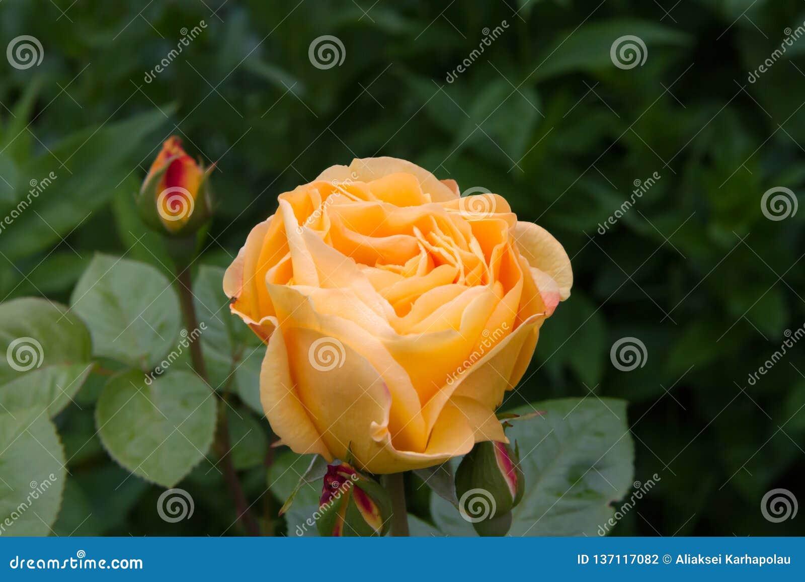 Rose Ashram in de de zomertuin