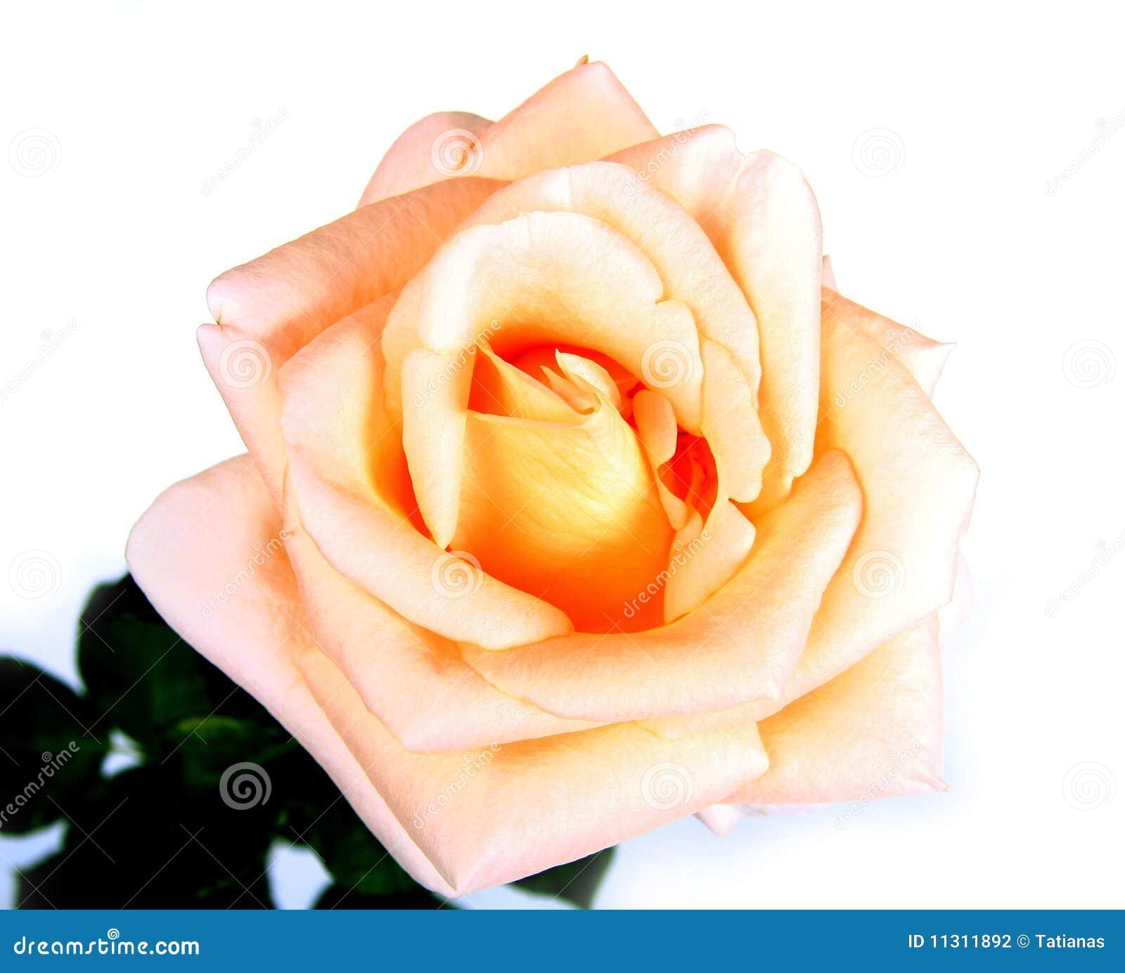 Rose auf Weiß.
