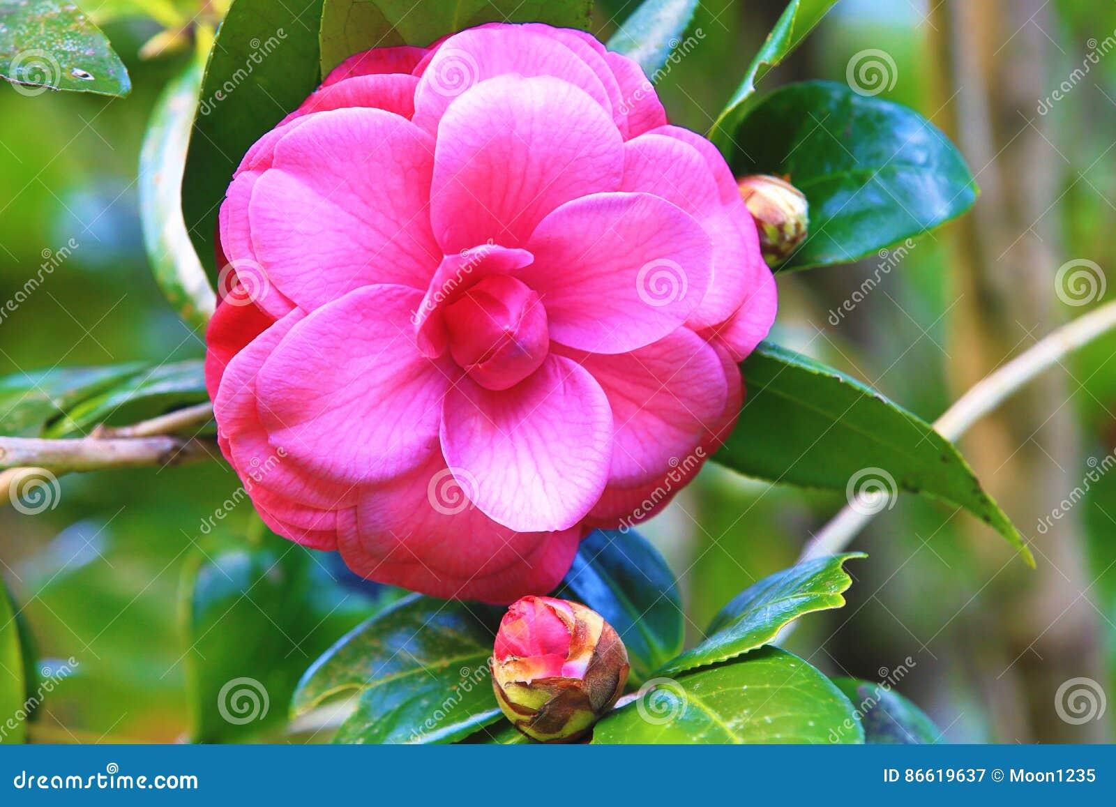 Rose Avec La Fleur Rouge De Camelia Image Stock Image Du Closeup