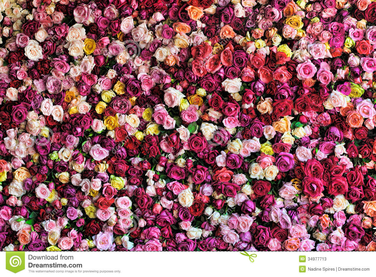 Rose Background Colourful