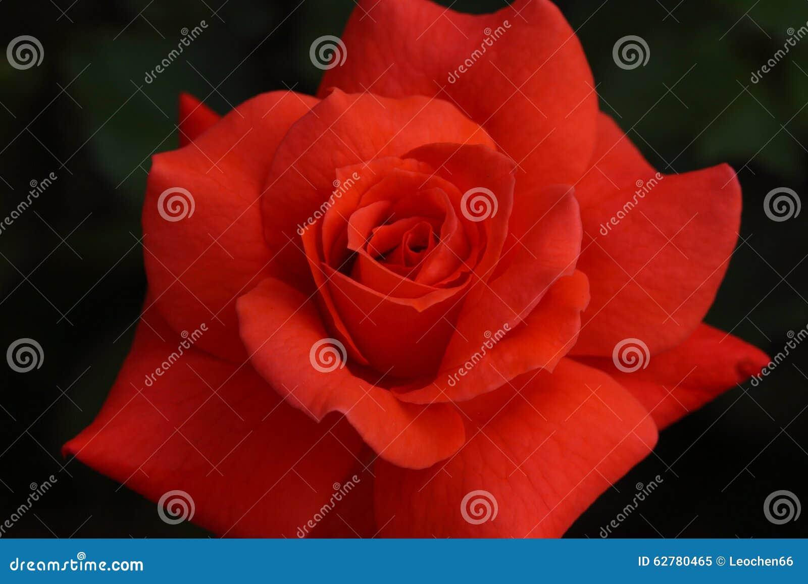 Rose Stock Photo Image 62780465