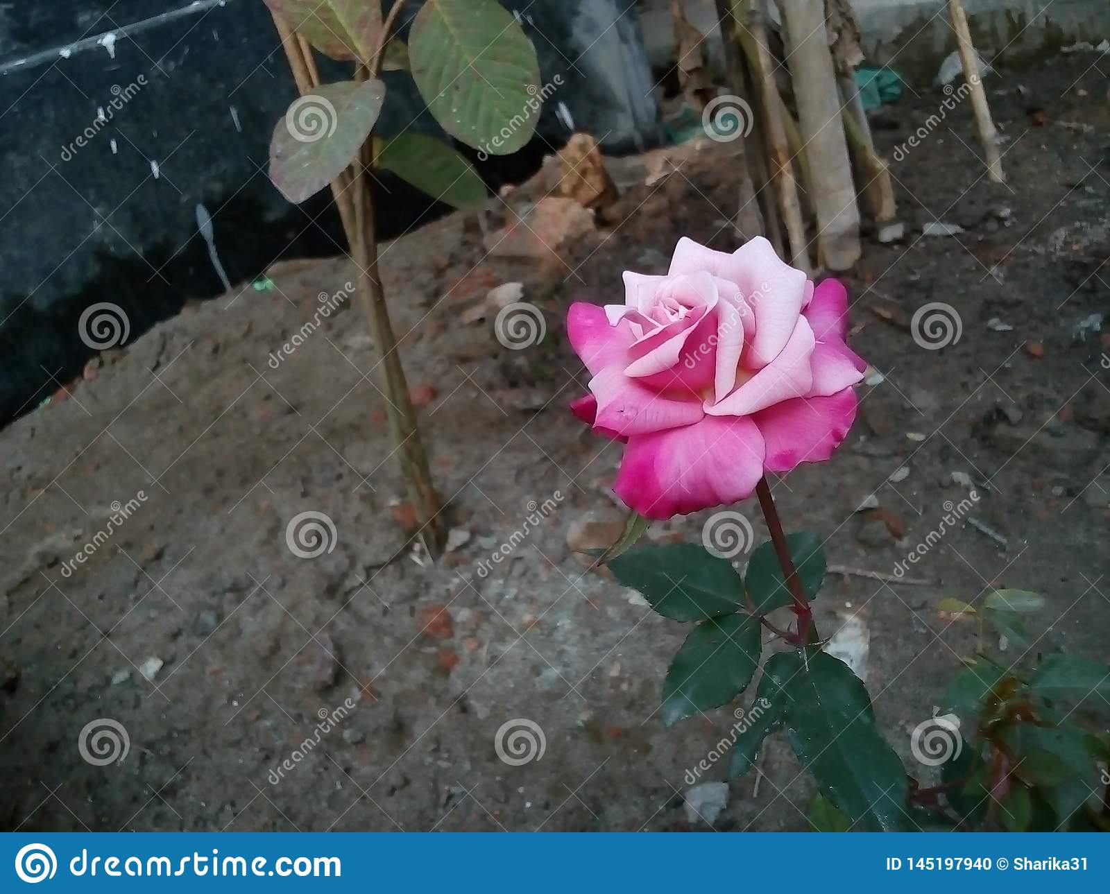The rose is beautiful  because love is pure our life