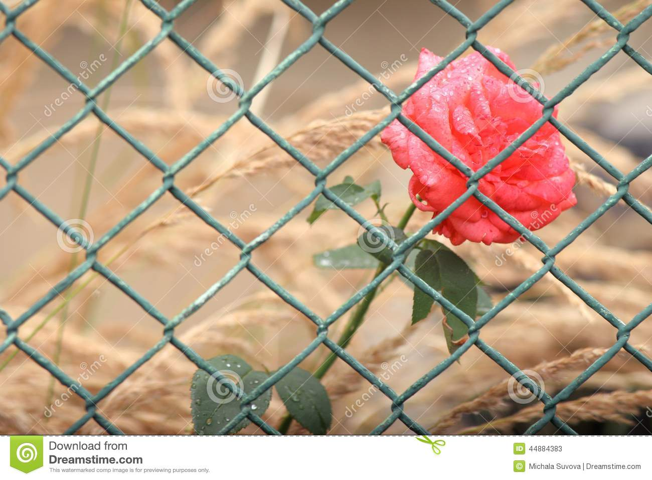 Rose behind the fence