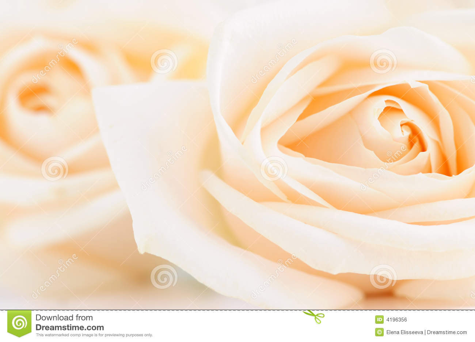 Rose beige fragili