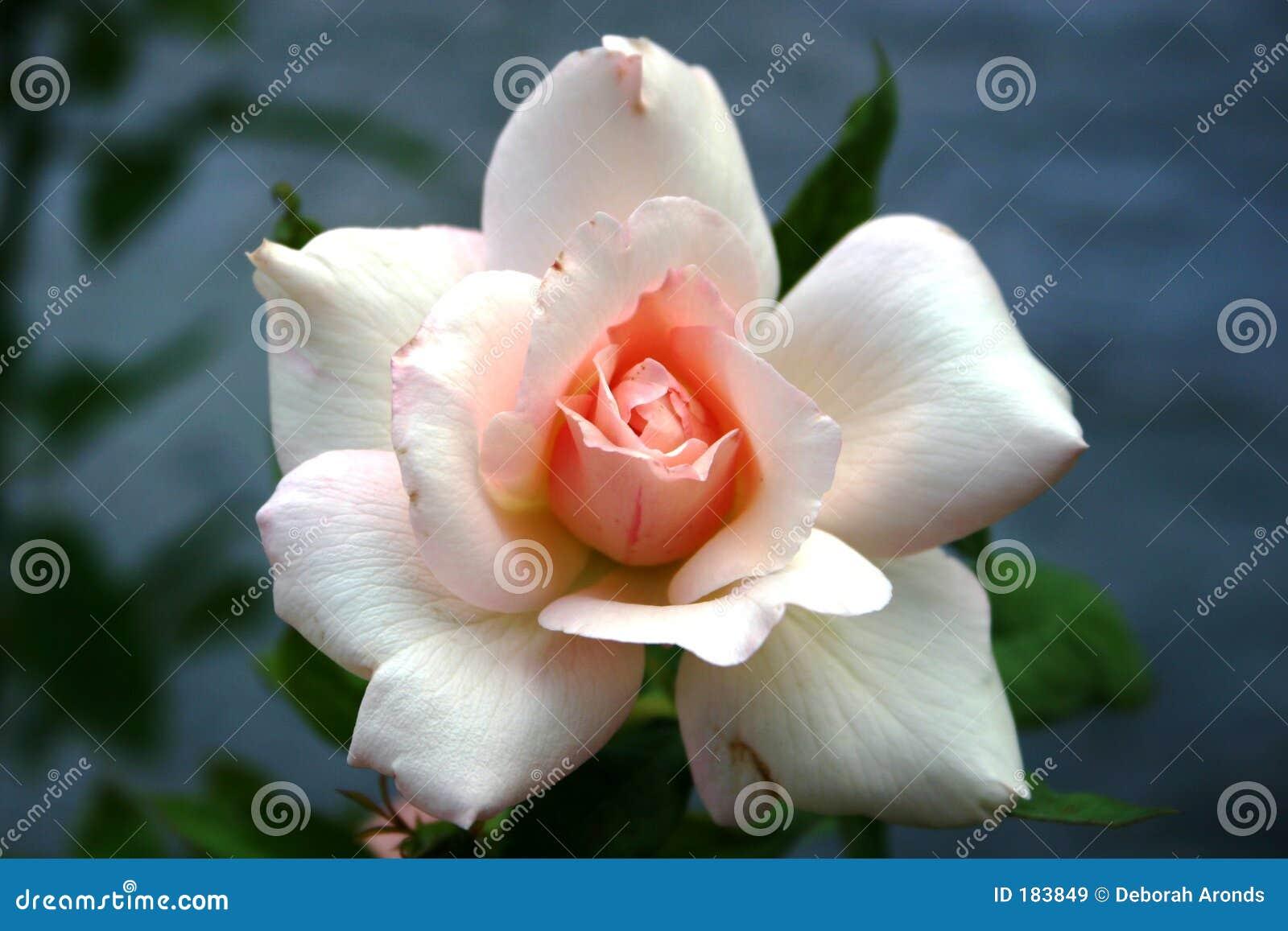 Rose blanca con el centro rosado