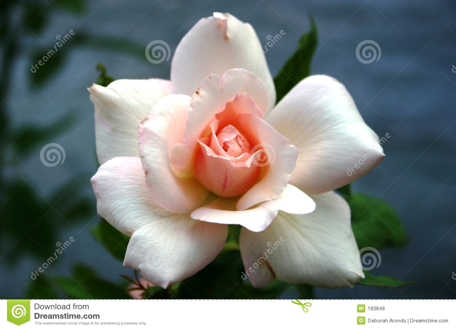 Rose blanche avec le centre rose