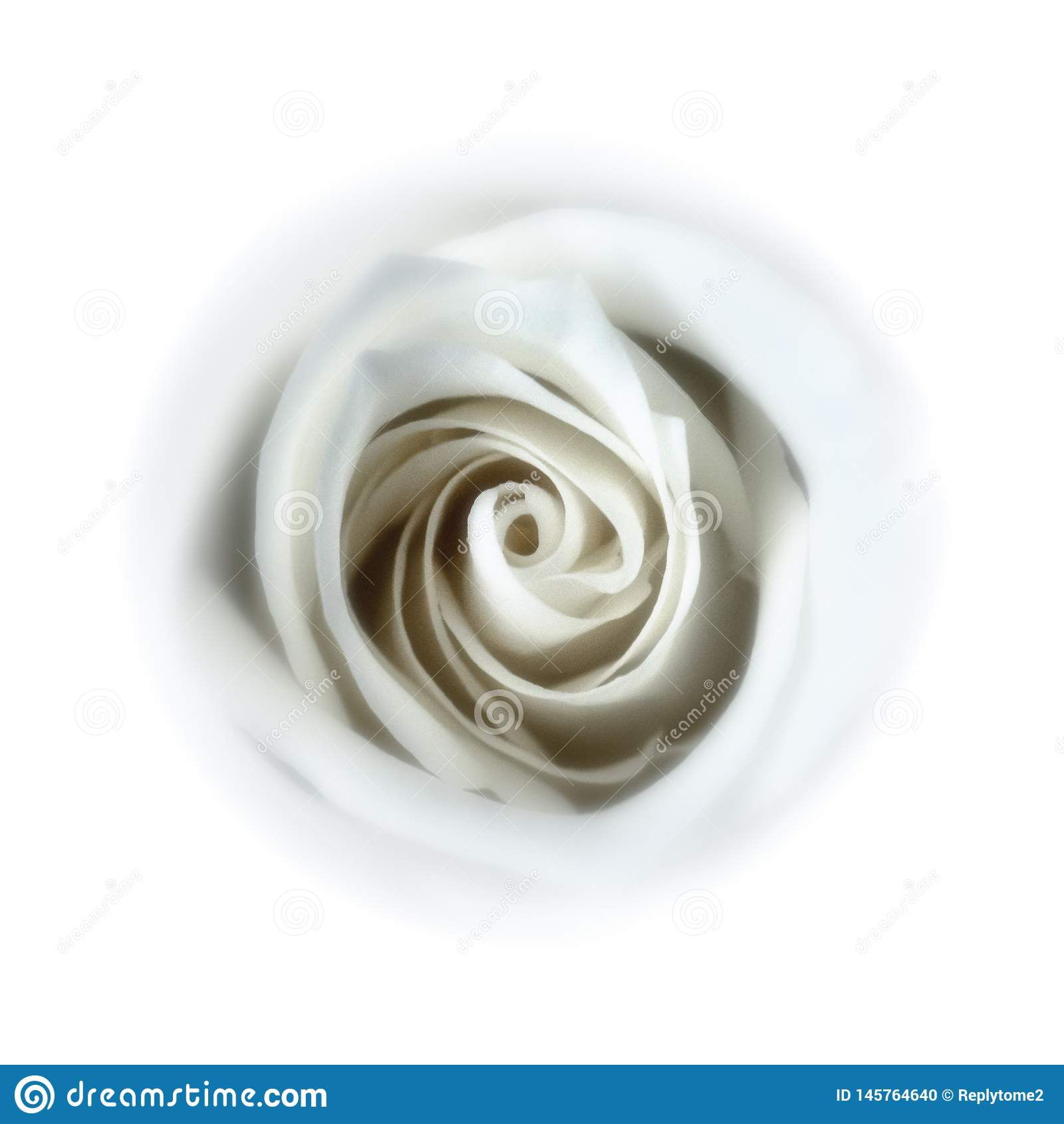 Rose blanche molle - en bas du terrier de lapin