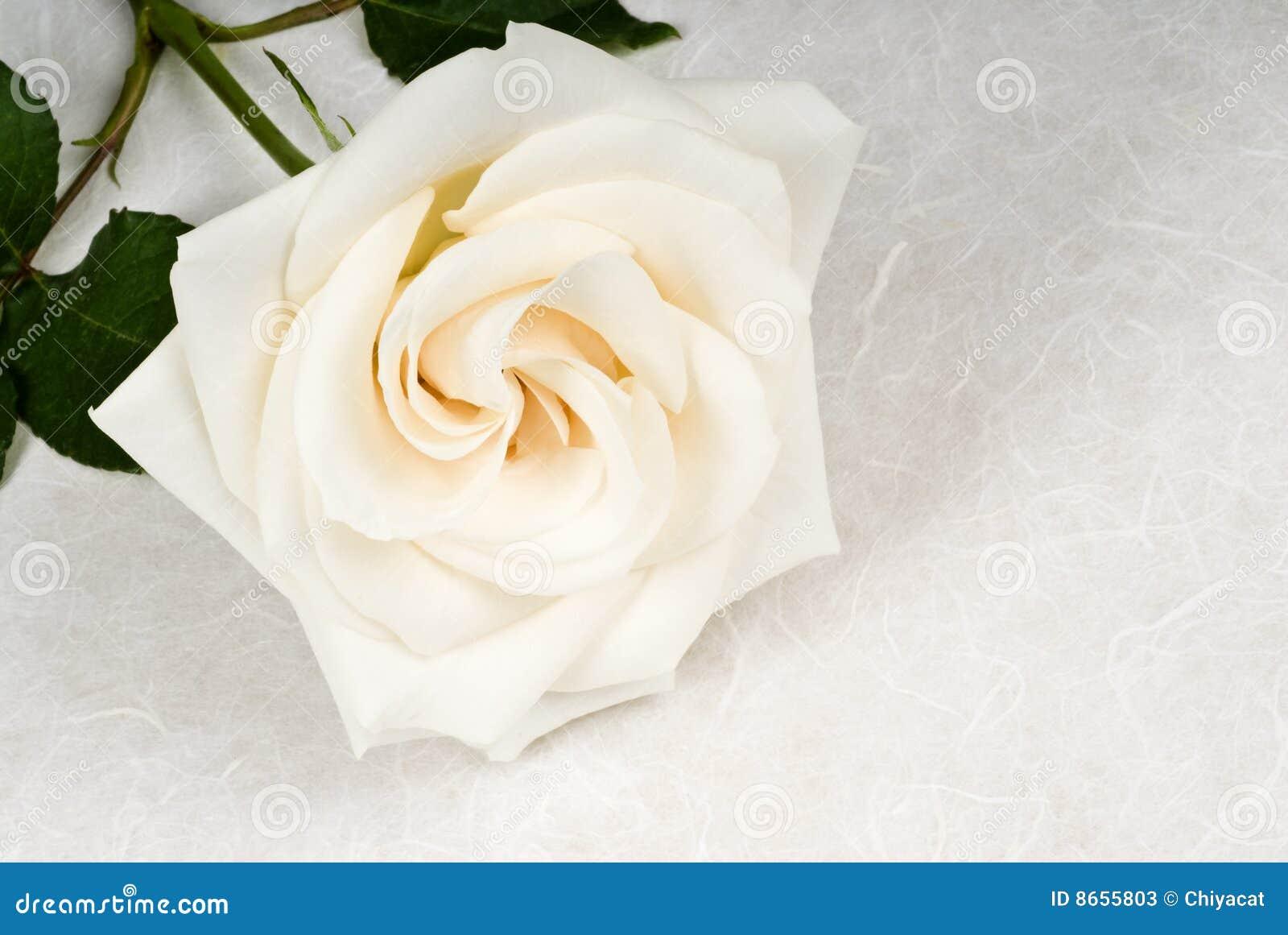 Rose blanche sur le papier texturisé