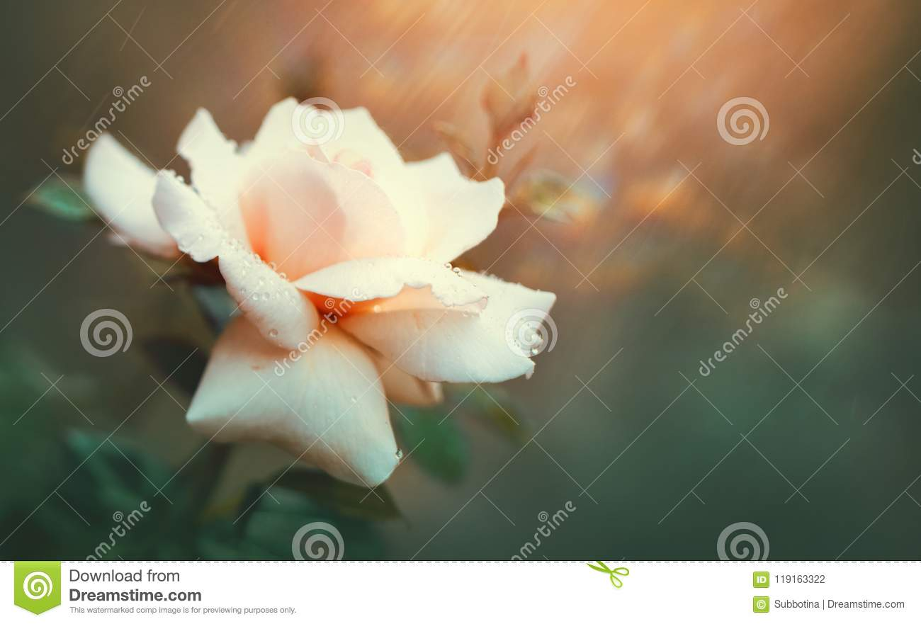 Download Rose Blooming In Summer Garden. Pink Roses Flowers Growing Outdoors. Nature, Blossoming Flower Stock Photo - Image of gift, grow: 119163322