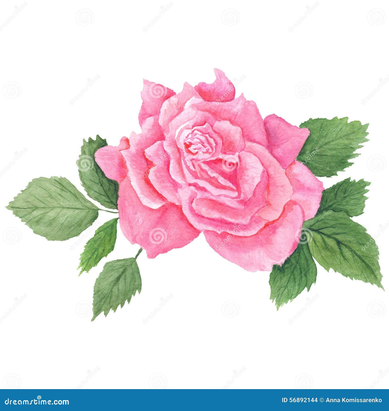 Rose Botanical Illustration rosa