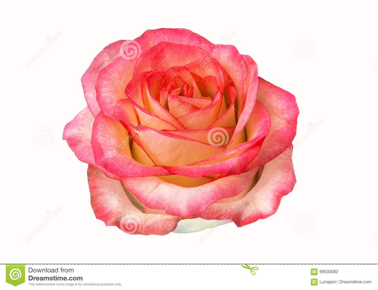 Rose bud isolated on white background. clipart, rose flower.