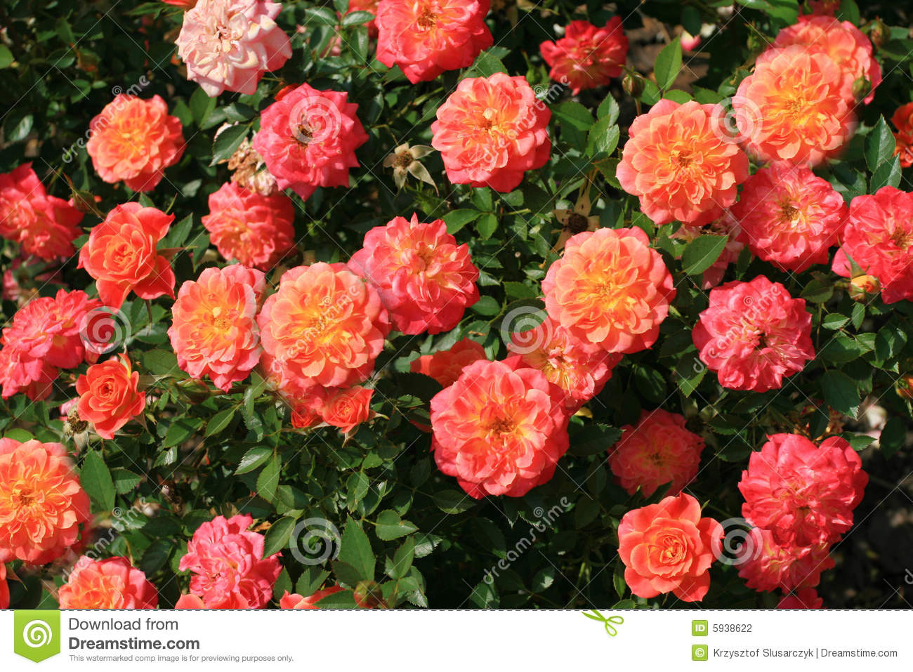 Rose bush stock photo image of botany beauty garden 5938622 - Planting rose shrub step ...