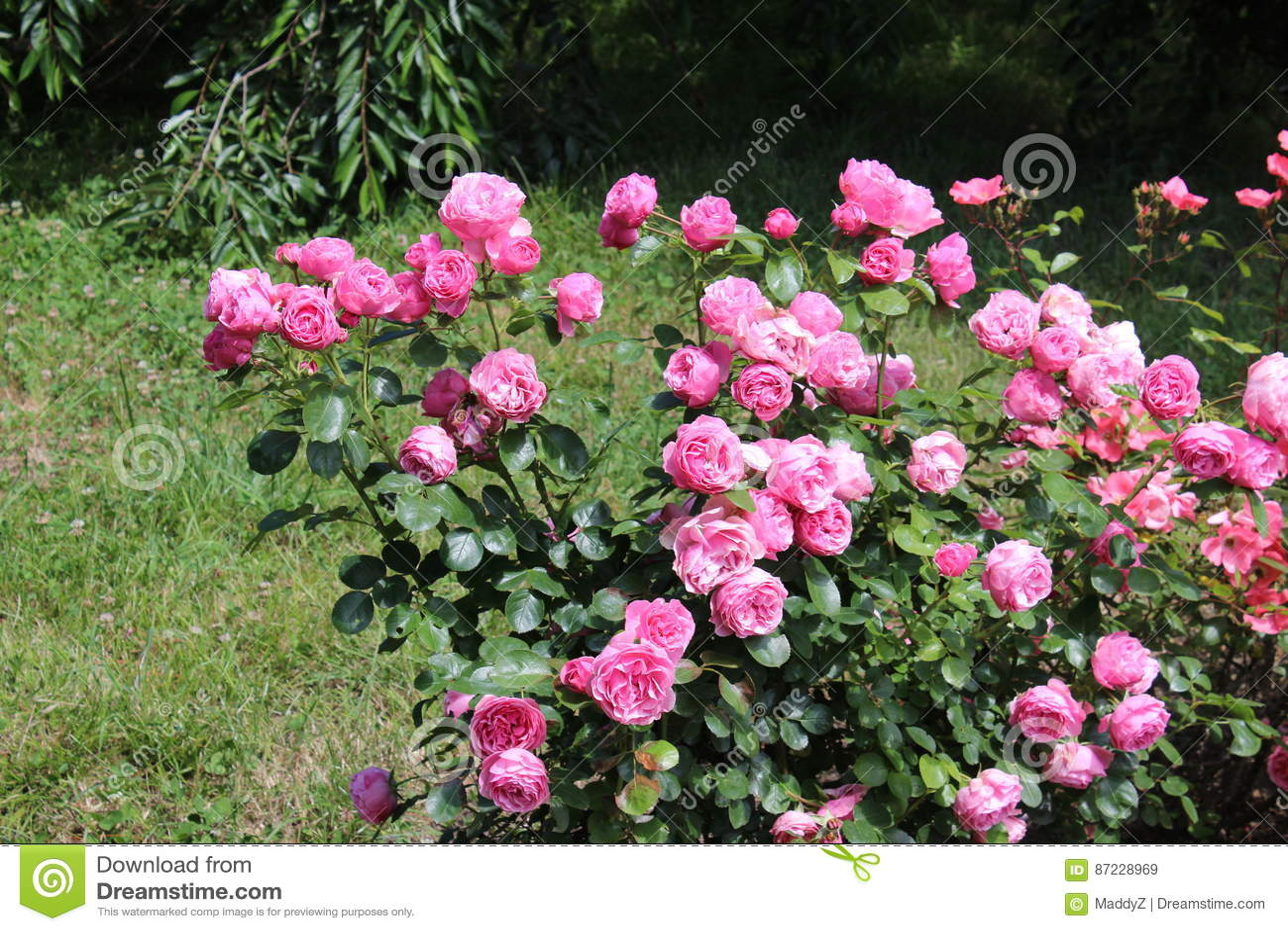 Rose Bush  Beautiful Pink Roses In A Garden Stock Image