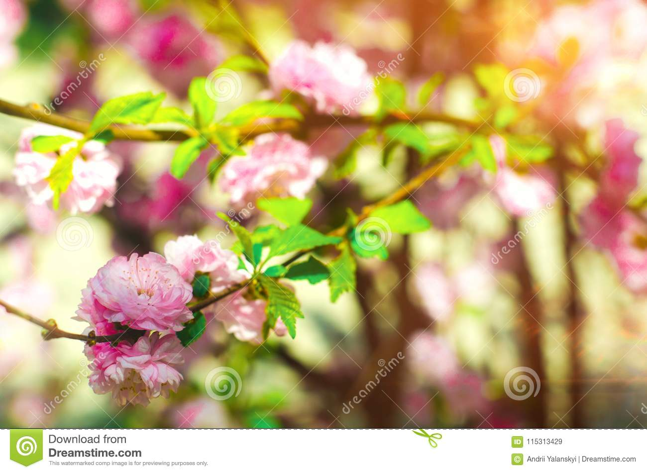 A Rose Bush Blooms In The Spring With Pink Flowers Natural