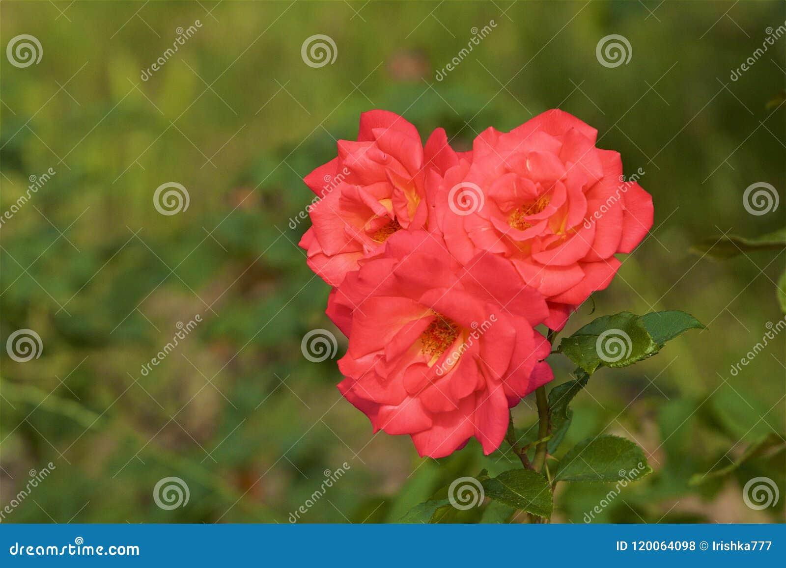 Rose bush in botanical garden