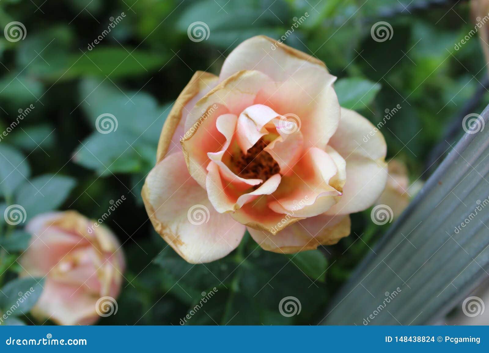 Rose rose-clair de Whealting