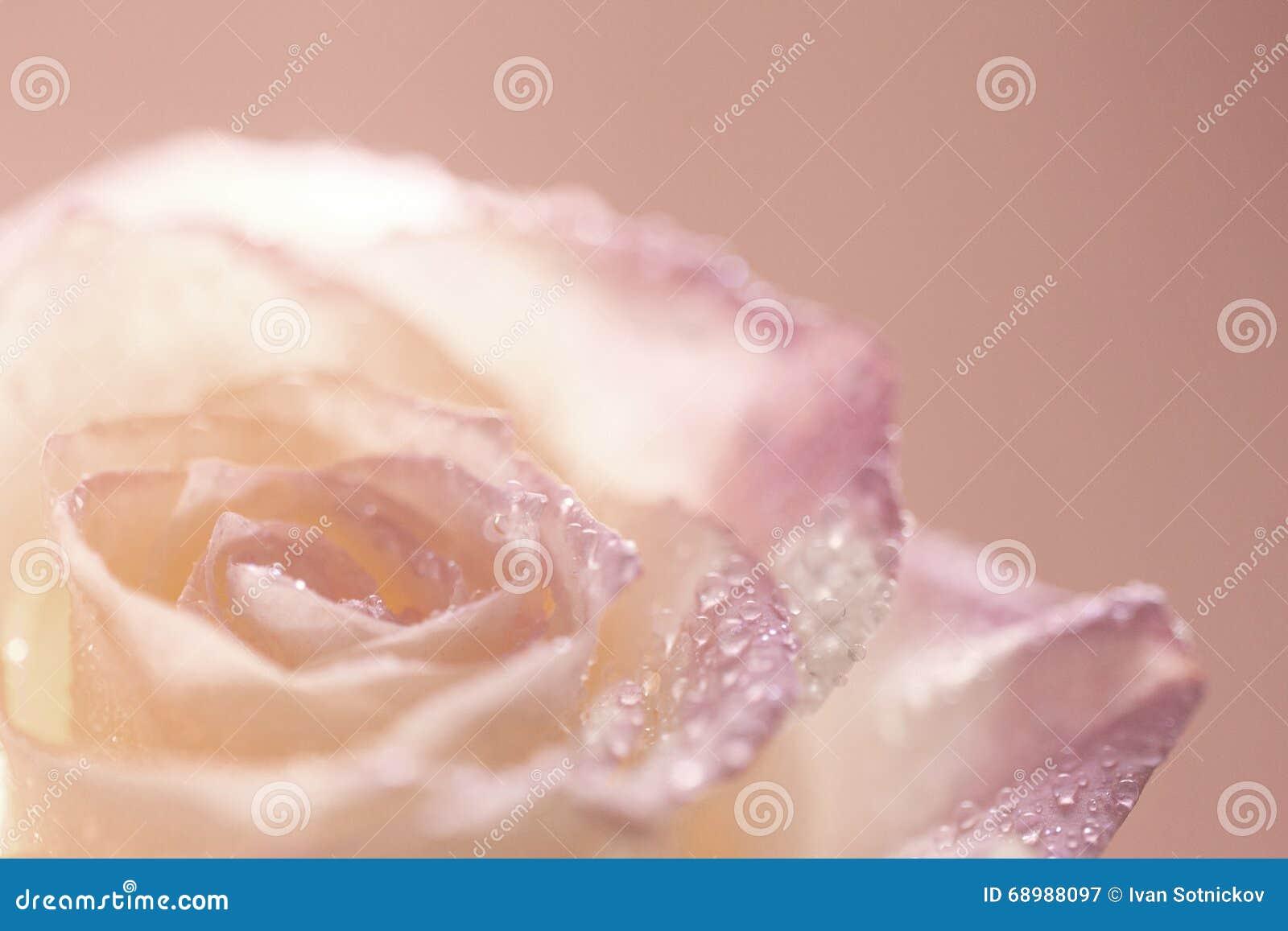 Rose con descensos