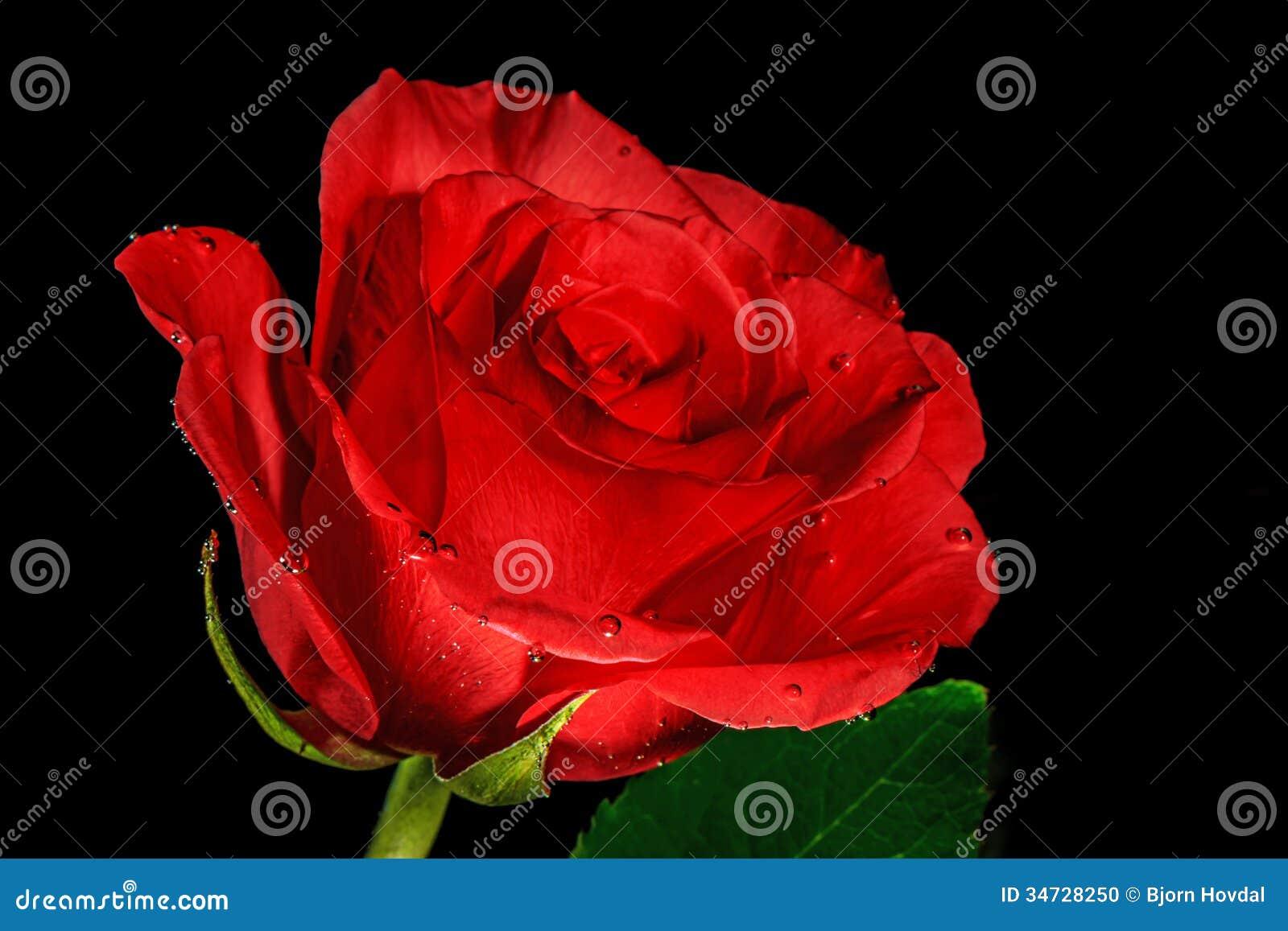 Rose con las gotitas