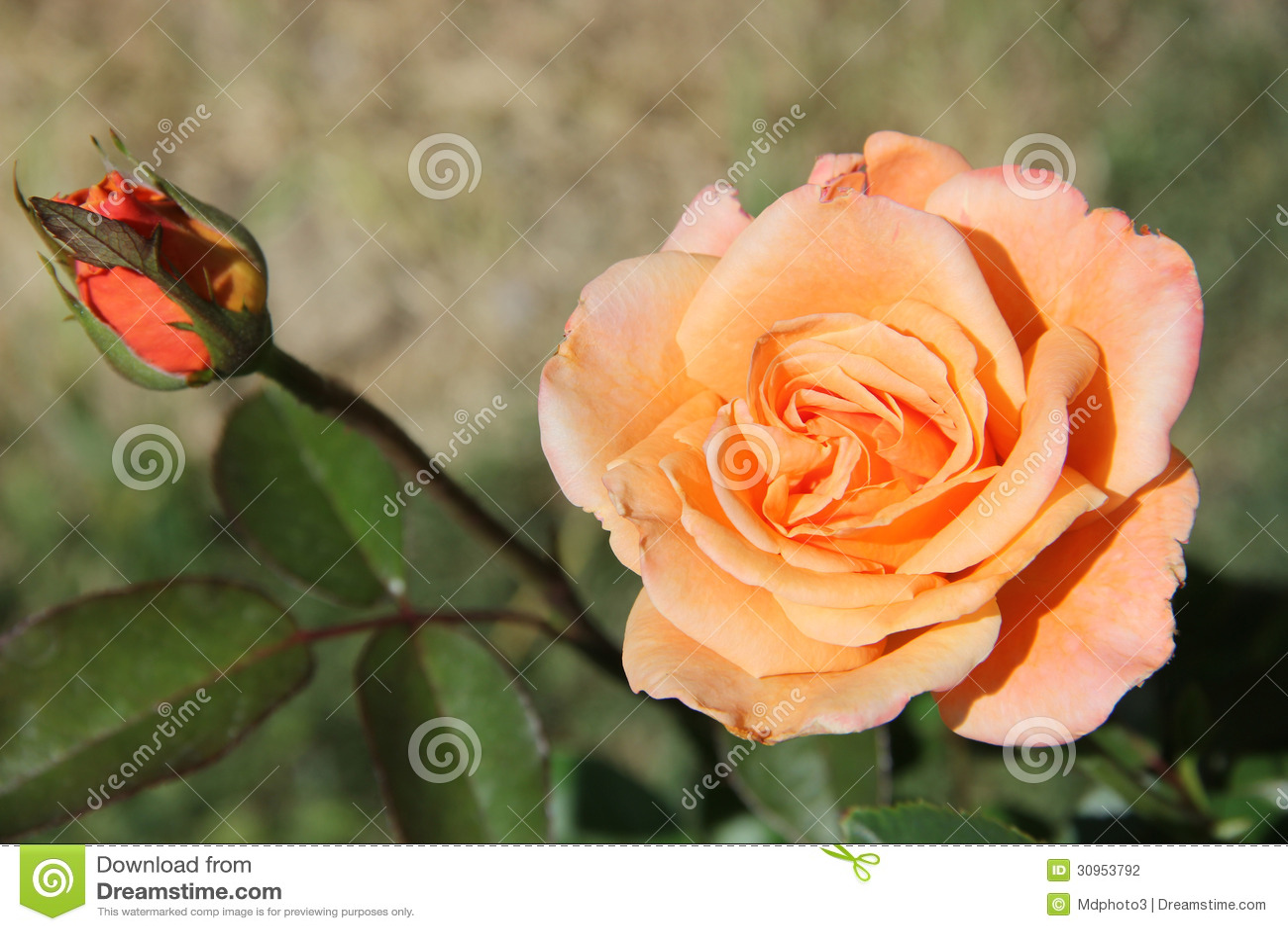 Rose couleur p che avec le bourgeon photographie stock for Quelle couleur avec le rose