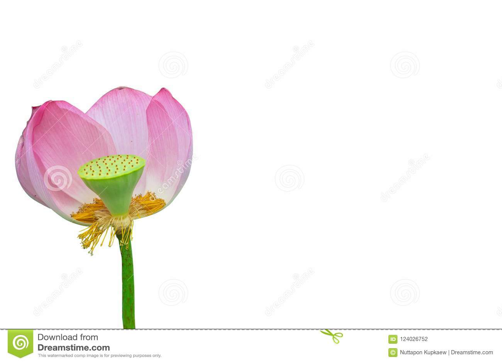 Rose d isolement de lotus
