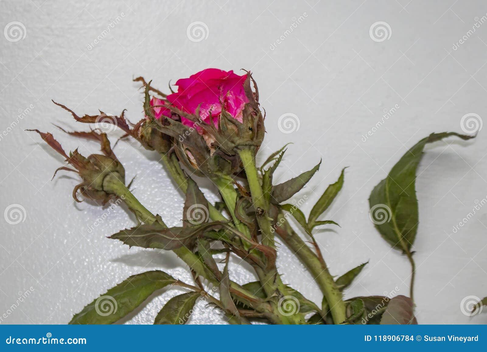 Rose d un buisson atteinte d un virus appelé la diffusion rose de rosette par les acarides minuscules a porté par le vent