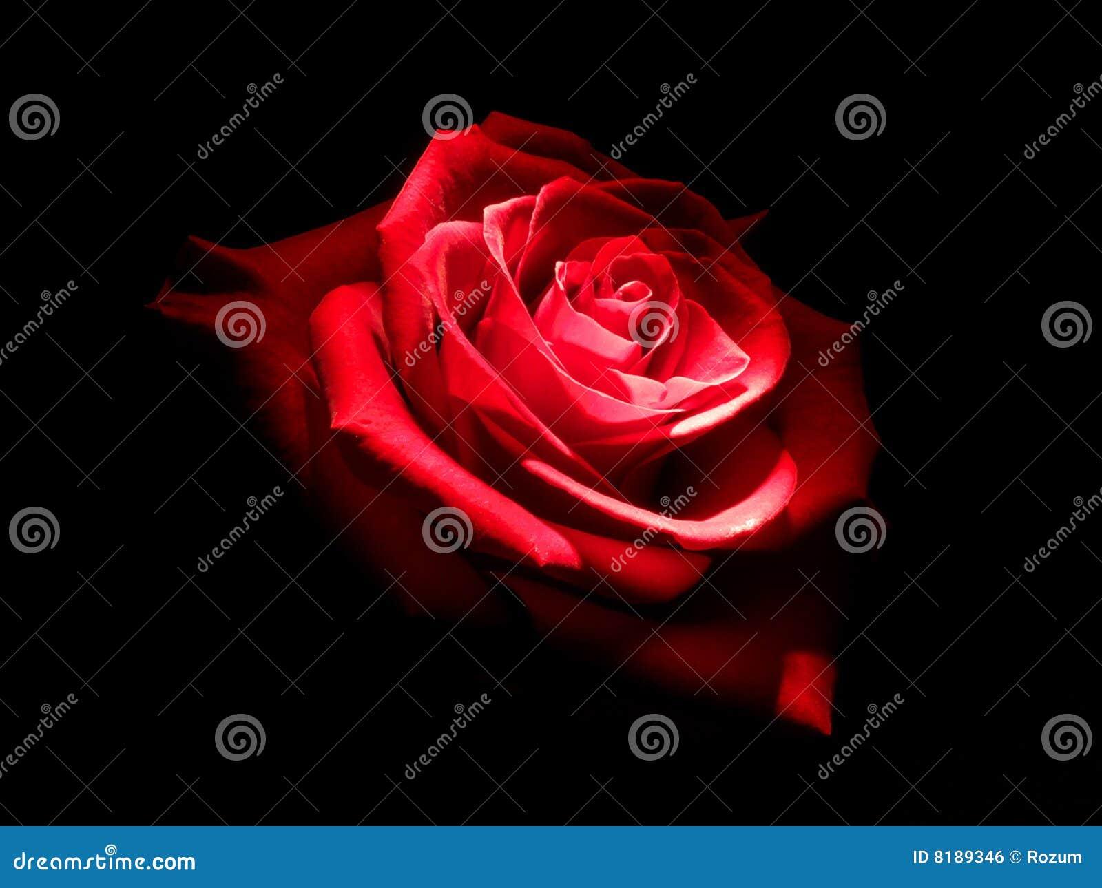 Rose in dark