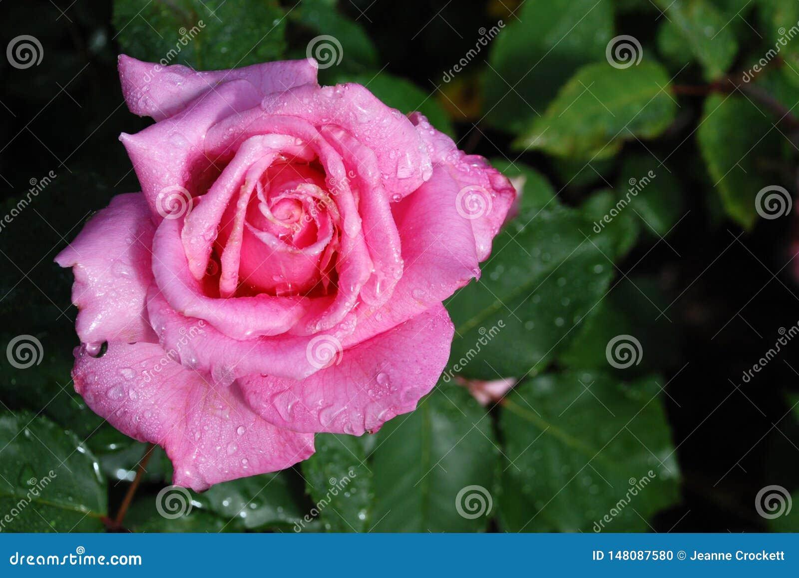 Rose de rose avec des baisses de ros?e