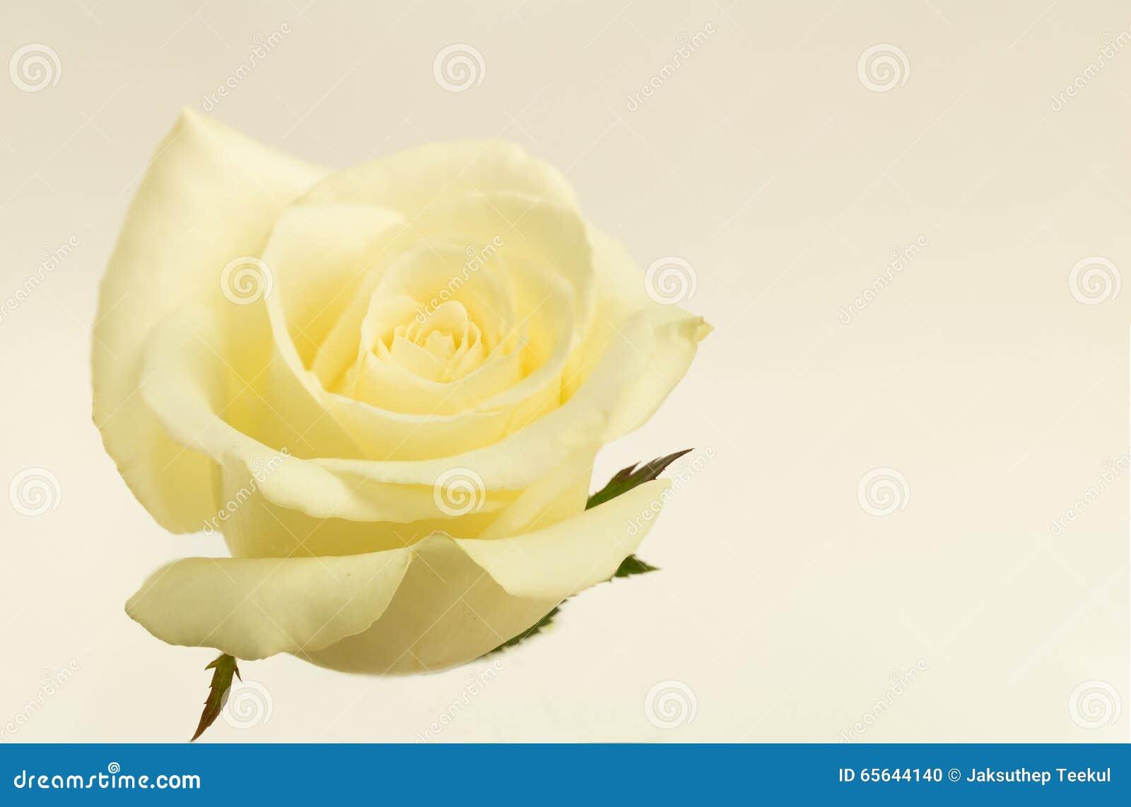 Rose de blanc de fleur avec l effet de vintage