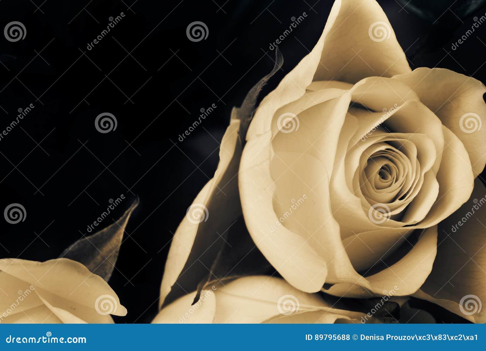 rose de blanc de proposition fleur rose triste photo stock - image