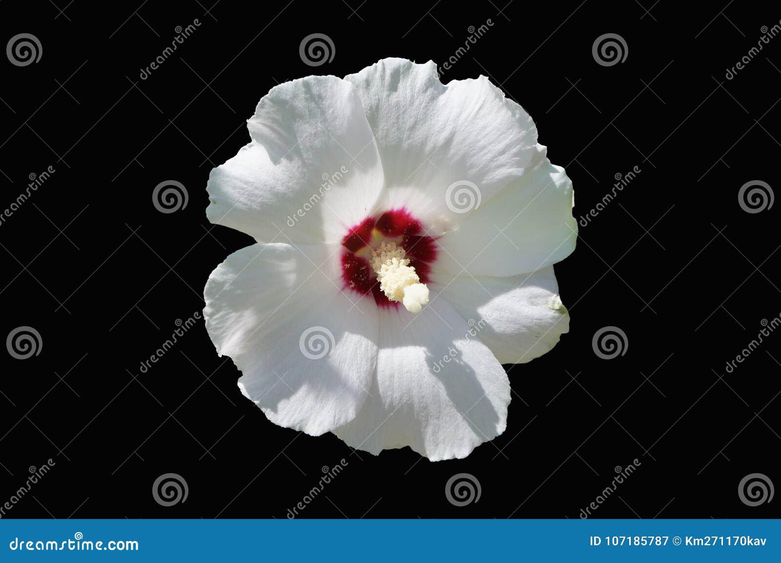 Rose De Blanc De Syriacus De Ketmie De Fleur Rouge De De Coeur De