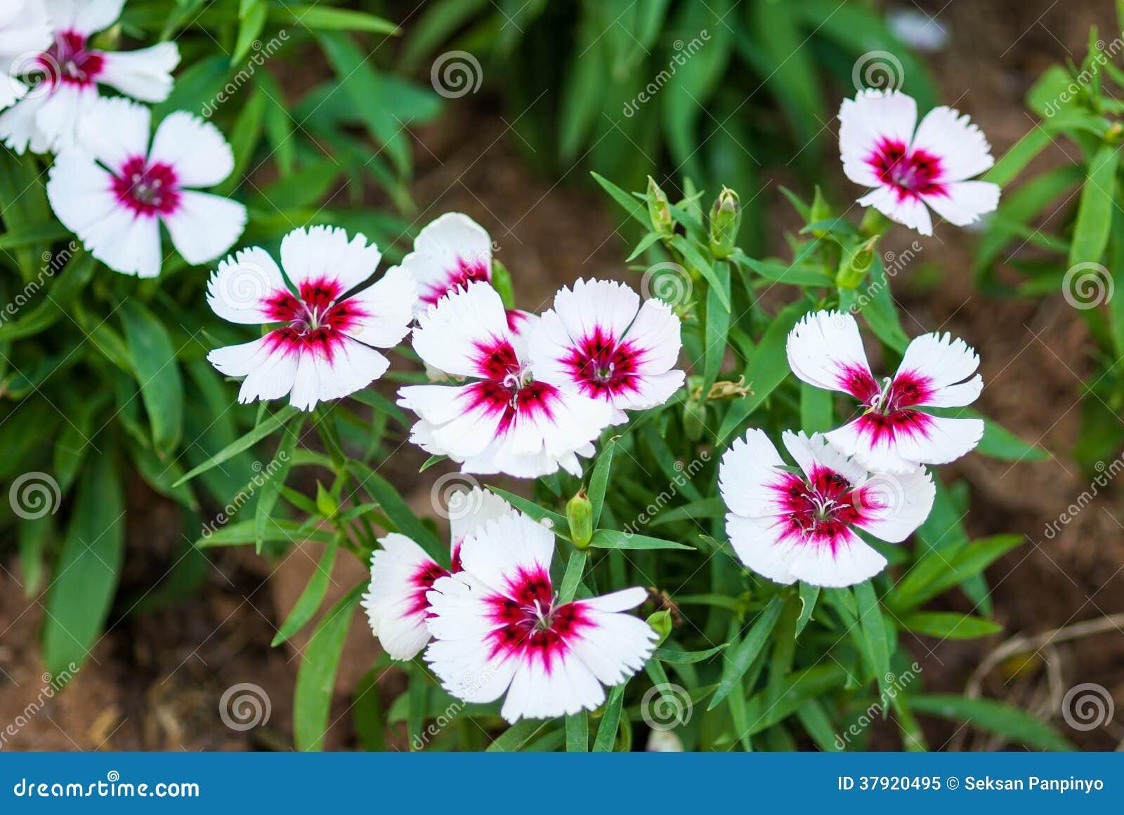 Rose de chine fleur d 39 oeillet photo libre de droits image 37920495 - Radis rose d hiver de chine ...